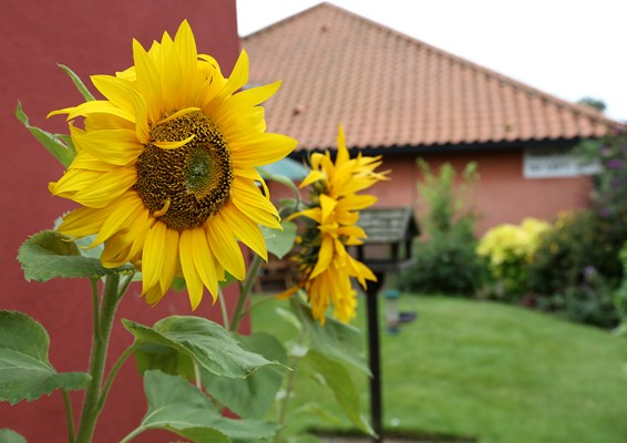 Beautiful sunflowers in the garden of Abbeyfield House, Beccles